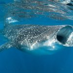 Decorative stock image of a whale shark